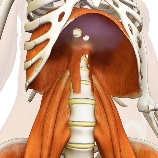 Diafragma y psoas en relación a la columna y la pelvis